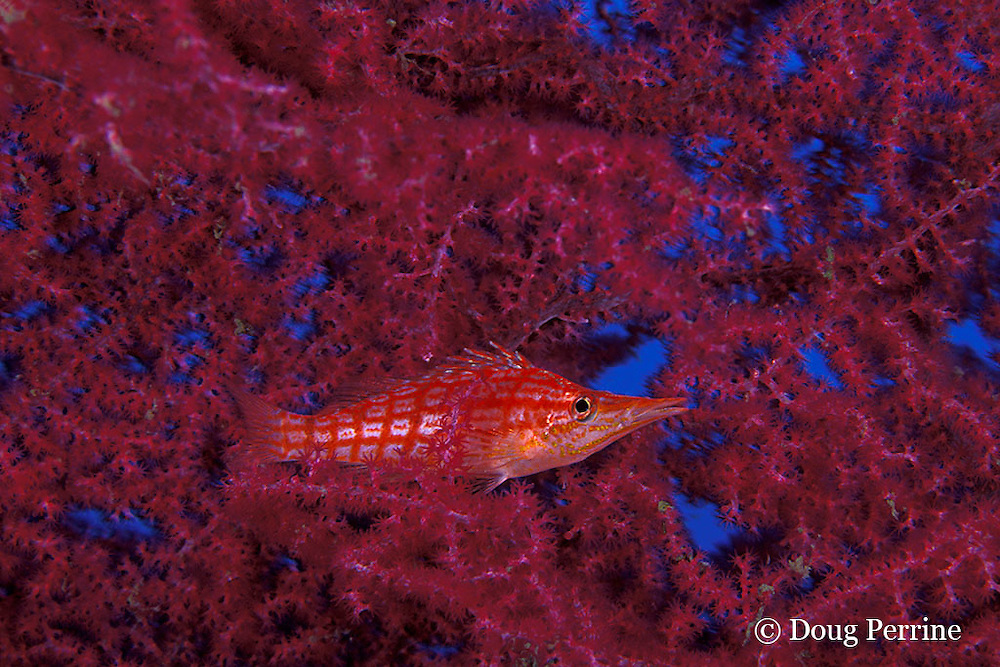 longnose hawkfish, Oxycirrhitus typus, on sea fan, or gorgonian coral, Tulamben Bay, Bali, Indonesia