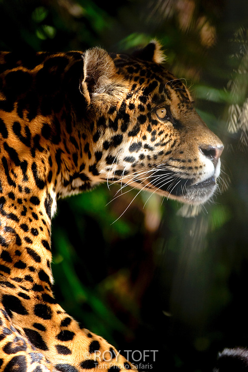 Portrait of a captive jaguar (Panthera onca).