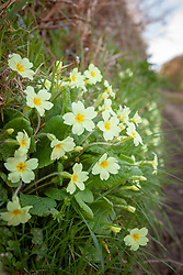 Wild primrose growing in the hedgerows on a Devon lane. Primula vulgaris.