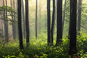 Foggy beech forest in springtime