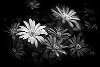Unique black and white rendition of new spring daisies.