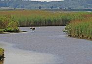 WHITE-TAILED DOE DEER crossing the salt  marsh; Brigantine Marsh, Edwin B. Forsythe NWR, New Jersey