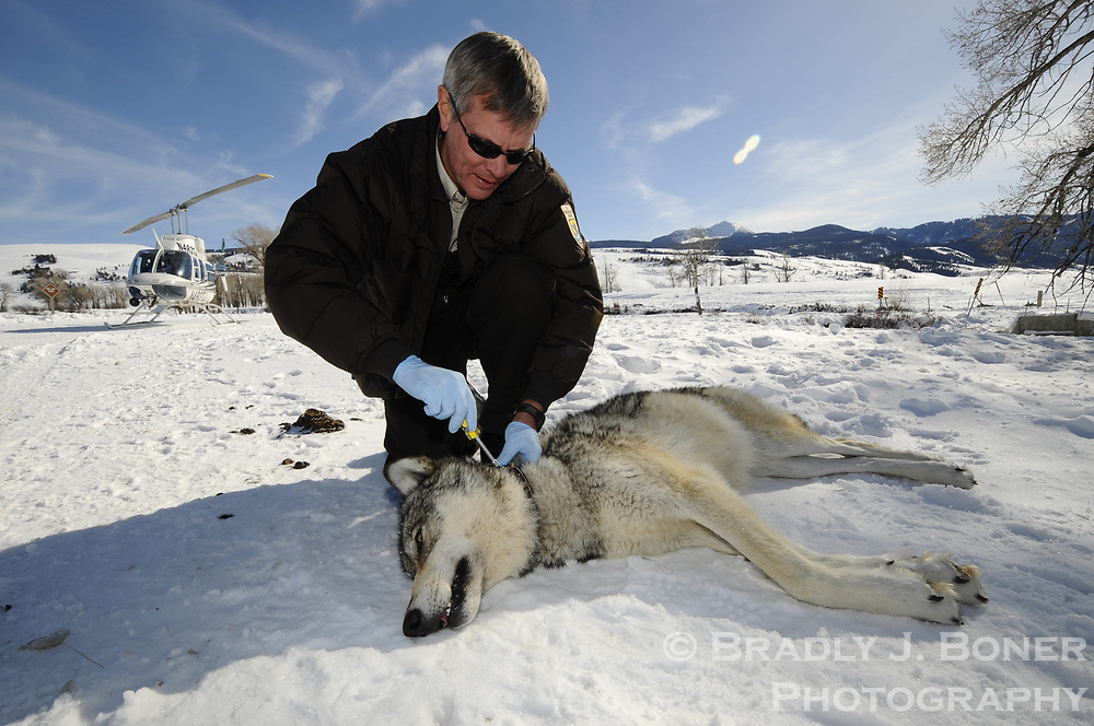Wolf capture and collaring on the National Elk Refuge
