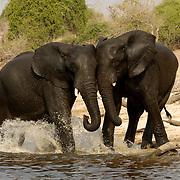 Elephants in water. Botswana. Africa.