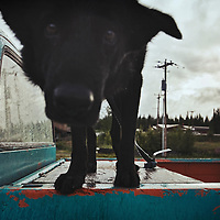 lack dog on a pick up truck leaning towards the camera in Alaska