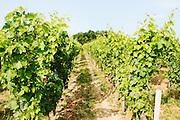 FRANCE, Saint Emilion<br /> The vineyards of Chateau de Ferrand (Grand Cru Classé)