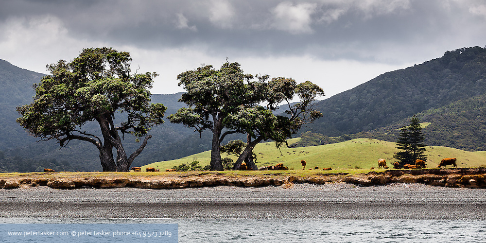 Cattle and trees, northern coast, Coromandel Peninsula, Hauraki Gulf, New Zealand.