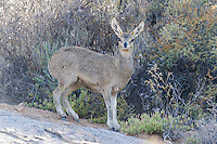 Female klipspringer, Namaqua National Park, Northern Cape, South Africa,