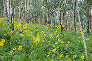 Wildflowers in bloom in July on the American Lake trail in Aspen, Colorado.
