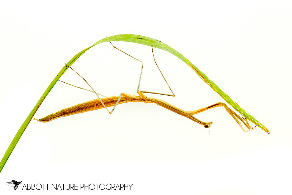Slim Mexican Matis (Bactromantis mexicana)<br /> UNITED STATES: Alabama: Tuscaloosa Co.<br /> Captive bred individual<br /> 30-July-2017<br /> J.C. Abbott &amp; K.K. Abbott