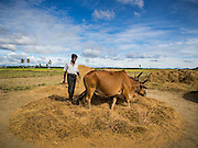 06 NOVEMBER 2014 - SITTWE, RAKHINE, MYANMAR: A Rohingya Muslim man threshes rice with oxen in a Rohingya Muslim IDP camp near Sittwe. After sectarian violence devastated Rohingya communities and left hundreds of Rohingya dead in 2012, the government of Myanmar forced more than 140,000 Rohingya Muslims who used to live in and around Sittwe, Myanmar, into squalid Internal Displaced Persons camps. The government says the Rohingya are not Burmese citizens, that they are illegal immigrants from Bangladesh. The Bangladesh government says the Rohingya are Burmese and the Rohingya insist that they have lived in Burma for generations. The camps are about 20 minutes from Sittwe but the Rohingya who live in the camps are not allowed to leave without government permission. They are not allowed to work outside the camps, they are not allowed to go to Sittwe to use the hospital, go to school or do business. The camps have no electricity. Water is delivered through community wells. There are small schools funded by NOGs in the camps and a few private clinics but medical care is costly and not reliable.   PHOTO BY JACK KURTZ