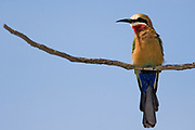 White-fronted Bee-eater (Merops bullockoides) from Lake Nakuru NP, Kenya.