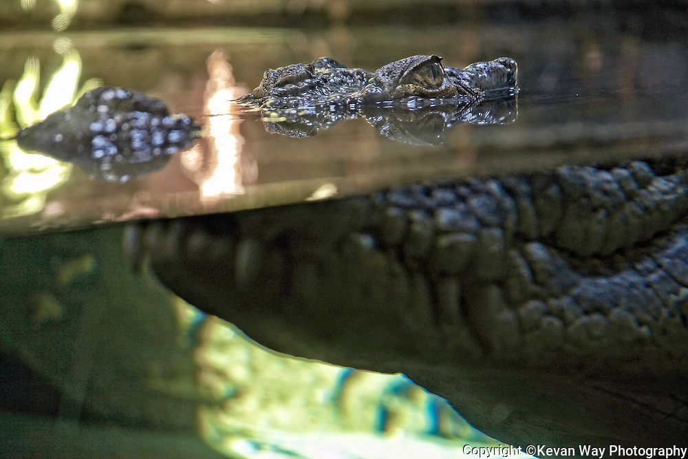 Crocodile from underwater