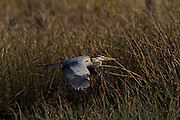 This heron is the largest in North American, and third largest worldwide. Found throughout most of North America, it is found in almost any type of wetland habitat. It is opportunistic,  feeding mainly on small fish, but will also eat crustacea, insects, small mammals, amphibians, reptiles, and small birds