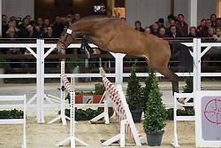 015, Negredo De Muze<br /> BWP Hengsten keuring Koningshooikt 2015<br /> © Hippo Foto - Dirk Caremans<br /> 21/01/16
