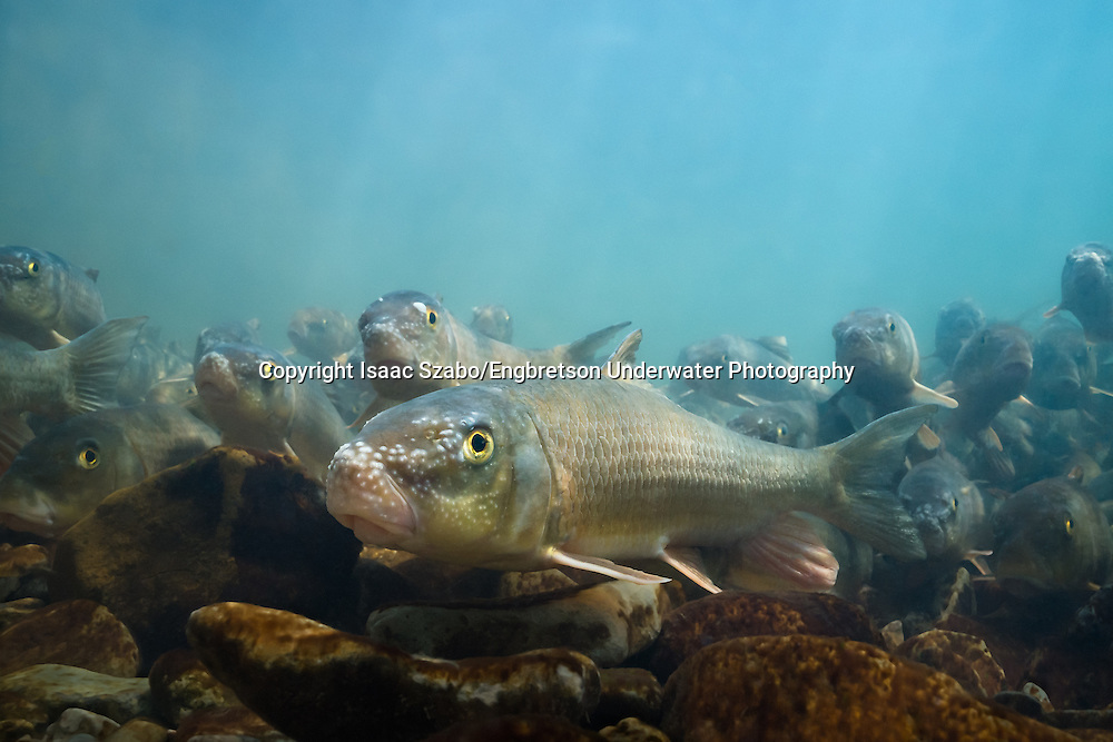 Golden Redhorse<br />