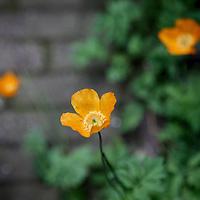 Nederland, Amsterdam , 7 juni 2010..Schijnpapaver.Plant wildgroeiende stadsplant zoals beschreven in de Natuurgids van bioloog Ton Denters.Foto:Jean-Pierre Jans