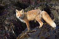 Portrait of red fox (Vulpes vulpes), Katmai National Park, Alaska