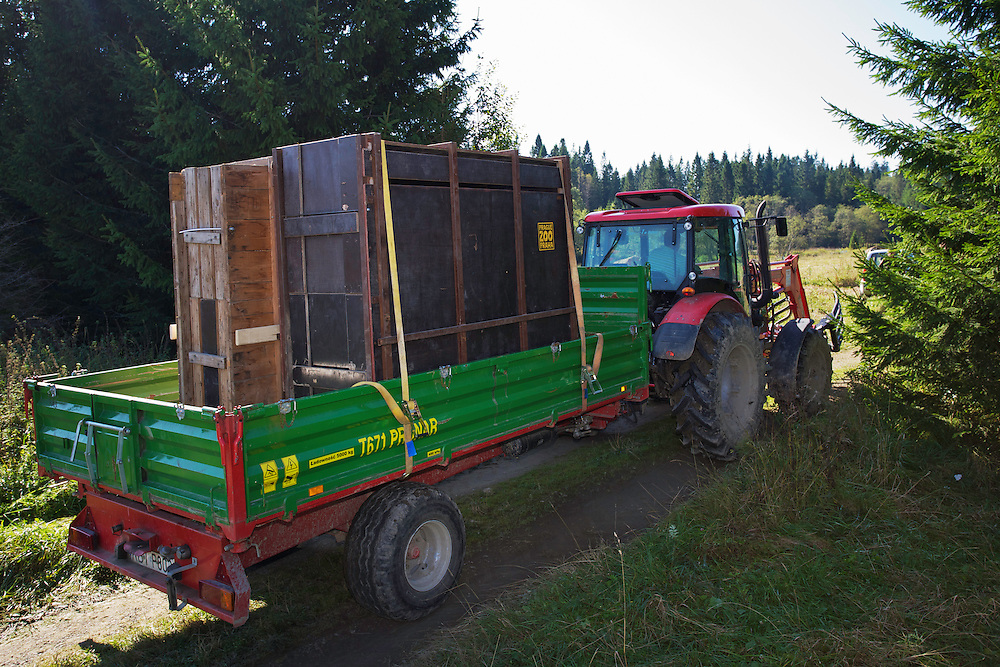 Tractor transporting two crates with European bison or Wisent (Bison bonasus) donated by Prague Zoo to an accomodation enclosure in Bieszczady National Park. Bukowiec, Poland.