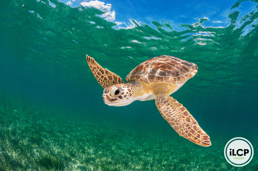 A green sea turtle (Chelonia mydas) in clear water over seagrass in The Bahamas