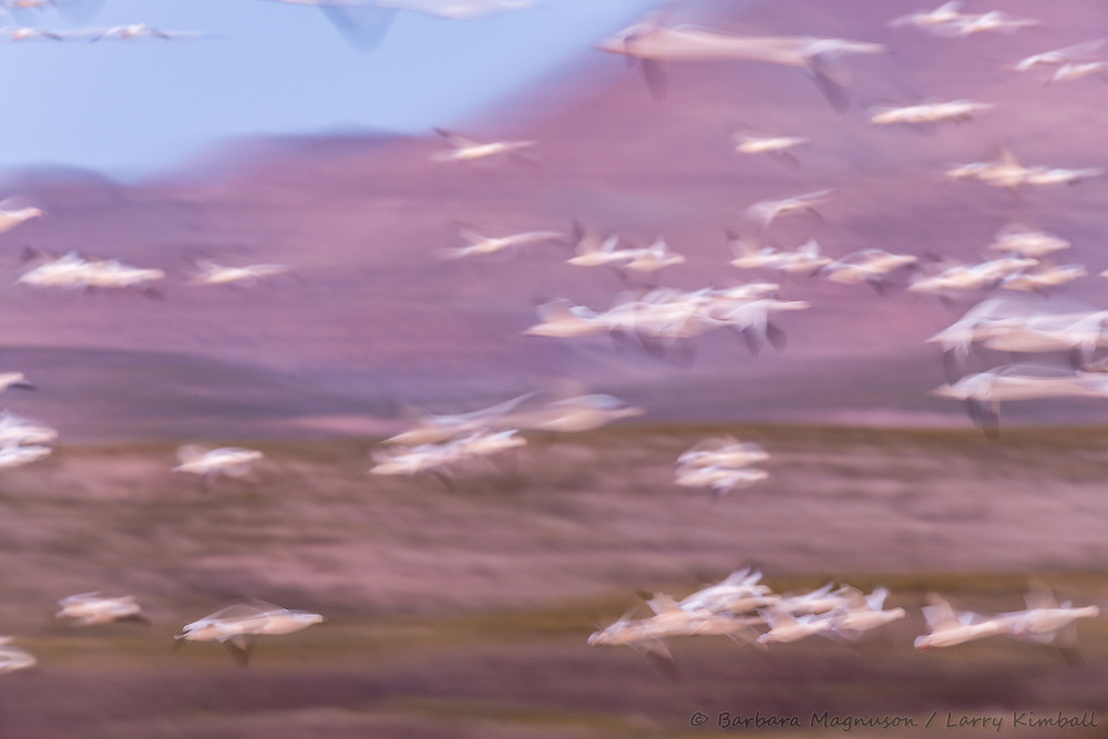 Snow Geese [Chen caerulescens] blurred flight; Bosque del Apache, New Mexico