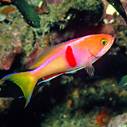 Redbar Anthias inhabit reefs. Picture taken Andaman Sea.