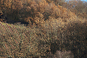 trees and vineyard during late autumn France Languedoc Aude Razes