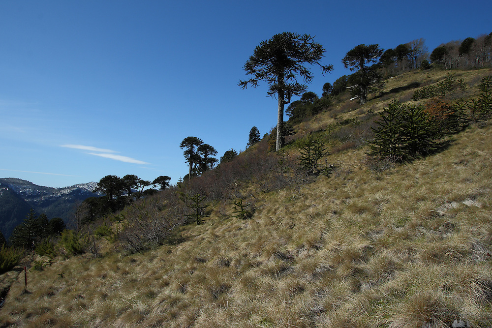 Araucaria trees sit on the top of the Quinchol hill in Huerquehue National Park, in Chile's Lake district