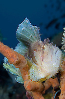 Leaf Scorpionfish Perched on Sponge