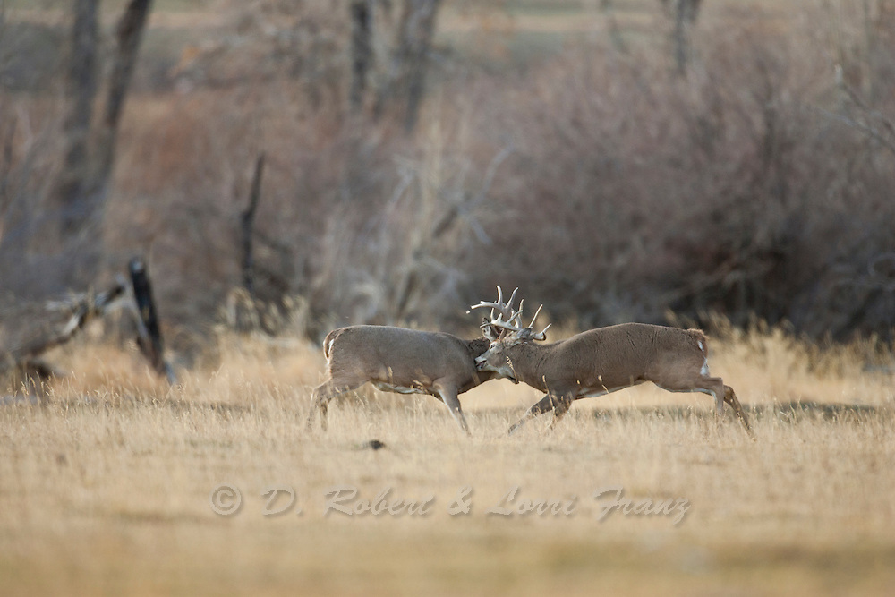 Wyoming whitetail  bucks fighting during the autumn rut
