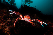 Jacquinotia edwardsi (Giant spider crab)