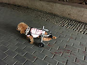 HANGZHOU, CHINA - JANUARY 06: (CHINA OUT) <br /> <br /> Pet Dog Suffering From Spinal Disc Herniation Walks With Purpose-made Wheels<br /> <br /> A woman exercises her pet dog on January 6, 2016 in Hangzhou, Zhejiang Province of China. The host spent over 40,000 RMB (6,068 USD) in her dog\'s operation of spinal disc herniation and buying it a purpose-made wheels. The dog received massage and could walk with the purpose-made wheels for two hours everyday to rehabilitate its muscle. <br /> ©Exclusivepix Media