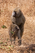a couple of Olive baboon (Papio anubis) mating. Photographed in Kenya