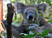 Darling Harbour. Sydney Wildlife World. Koalas feeding on eucalyptus.