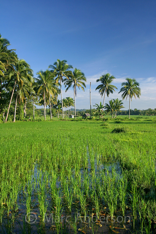 Lush green rice fields fringed with palm trees in Bohol, Philippines