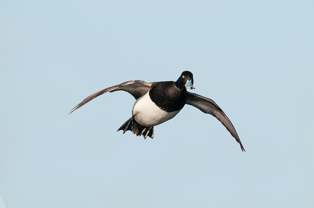 Lesser Scaup, Aythya affinis