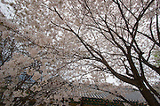 Songnisan National Park. Beopjusa Temple. Roofs and cherry blossoms.