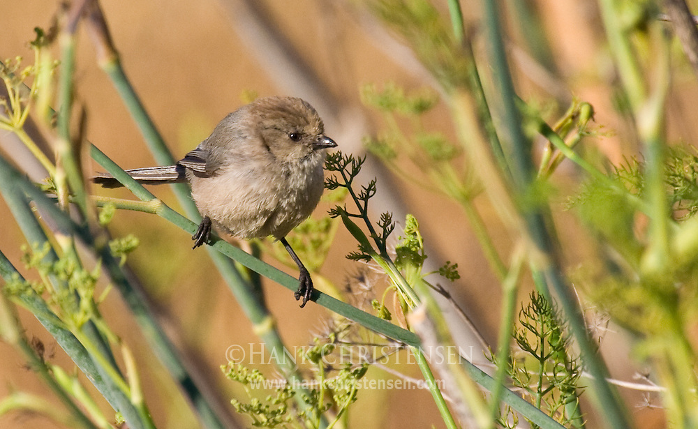 Bushtit perched on plant in marsh environment