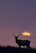 Tule Elk, Sunrise, Sunset, Fog, California, Point Reyes National Seashore, California