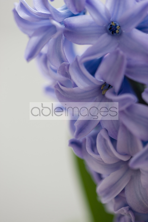 Detail of a purple haycinth, Hyacinthus orientalis