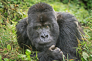 Guhonda, the largest and oldest silverback gorilla in the world, Volcanoes National Park, Rwanda / Guhonda, el gorila de espalda plateada más grande del mundo, Parque Nacional de los Volcanes, Ruanda