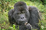 Guhonda, the largest and oldest silverback gorilla in the world, Volcanoes National Park, Rwanda / Guhonda, el gorila de espalda plateada más grande del mundo, Parque Nacional de los Volcanes, Ruanda
