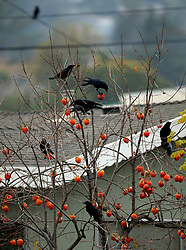 A murder of crows feast on a tree full of ripe persimmons in Oakland, Calif., Monday, Dec. 10, 2018. (Photo by D. Ross Cameron)