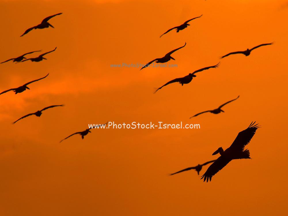 Israel, Maagan Michael Fish ponds, Flock of White Pelicans, Pelecanus onocrotalus in flight at sunset