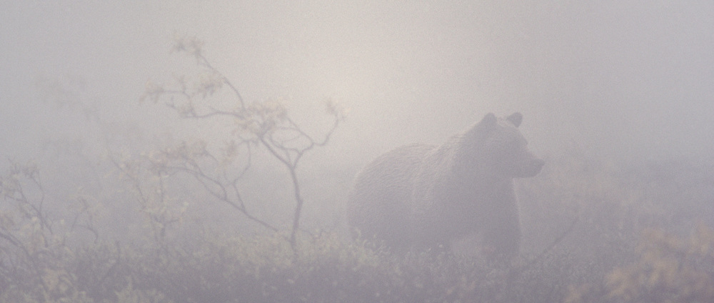 Grizzly Bear (Ursus horribilis) on the tundra on a foggy autumn day in Alaska.