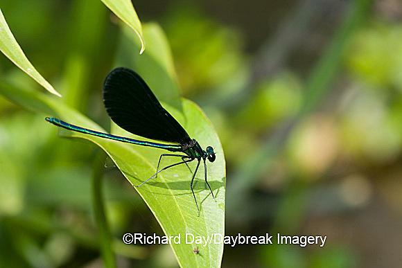 06014-001.13 Ebony Jewelwing (Calopteryx maculata) male, Lawrence Co. IL