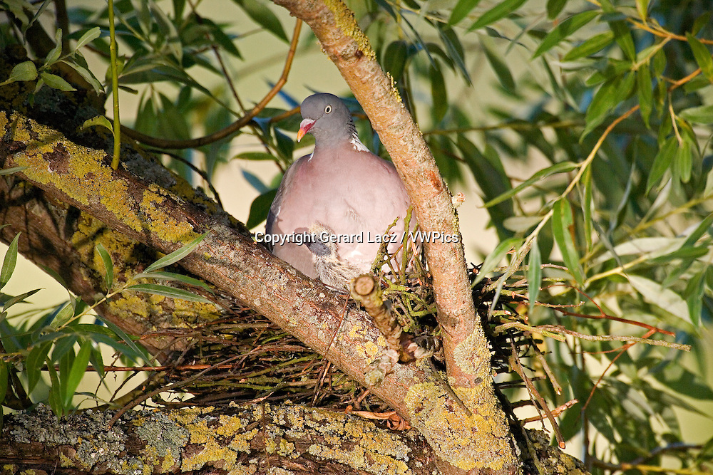 WOOD PIGEON columba palumbus, ADULT WITH CHICK ON NEST, NORMANDY