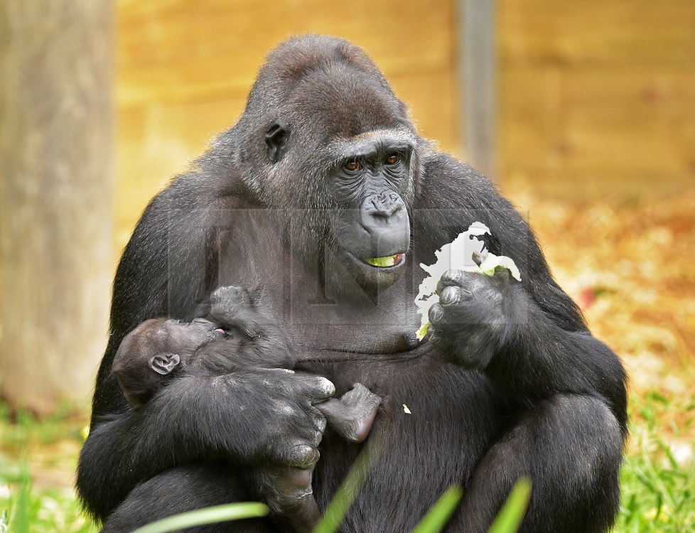 "© Licensed to London News Pictures.  30/05/2017; Bristol, UK. Gorilla mum TOUNI with baby yet to be named. Keepers at Bristol Zoo Gardens have revealed that their new baby gorilla is a girl. The little Western lowland gorilla was born in the early hours of Saturday, April 22nd to first-time mum Touni and silverback gorilla dad, Jock. Touni has been at the Zoo since September 2015 after coming from La Vallée des Singes zoo in France, as a breeding partner for Jock. The bright-eyed five week old baby is getting stronger every day and now needs a name. Bristol Zoo's curator of mammals, Lynsey Bugg, said: ""Our little lowland gorilla is doing incredibly well - developing exactly as she should, feeding well and putting on plenty of weight. Now we would like to ask the public to help us choose a name for her.""  The Zoo is asking members of the public to vote on their favourite from a choice of three names, all inspired by the name 'Daisy'. She added: ""We would like to name her in memory of the baby daughter of one of our colleagues who was born four years ago on the same day as the baby gorilla. Daisy was stillborn and we thought this would be a lovely tribute to her."" Keepers have chosen a shortlist of names for the baby gorilla – Fleur, Ayana and Undama. Fleur is French for flower, chosen because Touni is French. Ayana means 'pretty flower' in Ethiopian, and Undama means 'beautiful flower' in Swahili. Voting will open later today (Tuesday 30 May) on the Bristol Zoo Facebook page. After Daisy was born, her parents, who are both members of staff at Bristol Zoo, received support from SANDS (the stillborn and neonatal death charity). For more information about SANDS, visit www.sands.org.uk/ or phone 0808 164 3331. The new baby takes the number of gorillas living at Bristol Zoo to eight. The refurbished and extended Gorilla House opened in 2013 and is able to accommodate up to 10 gorillas in a state-of-the-art enclosure with a reinforced glass ceilin"