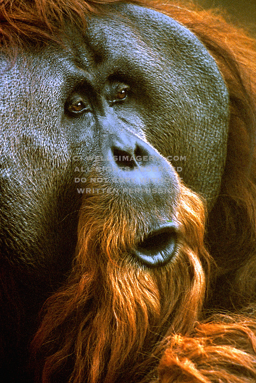 Image of an orangutan from Southeast Asia