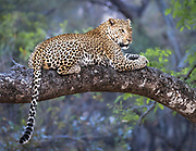 A leopard awaits nightfall to leave his safe resting place and hunt for his next meal.